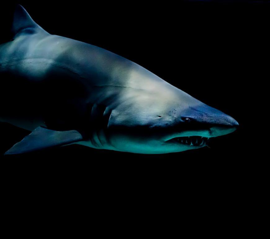 鯊魚咬海纜